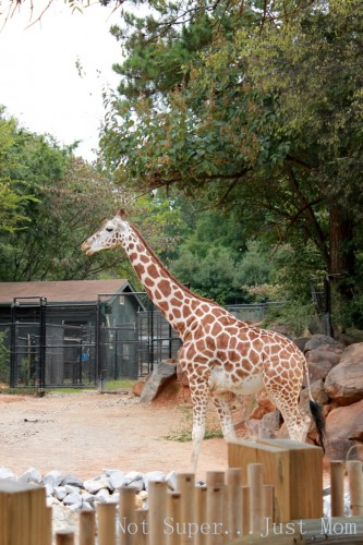 Giraffe at Zoo Atlanta