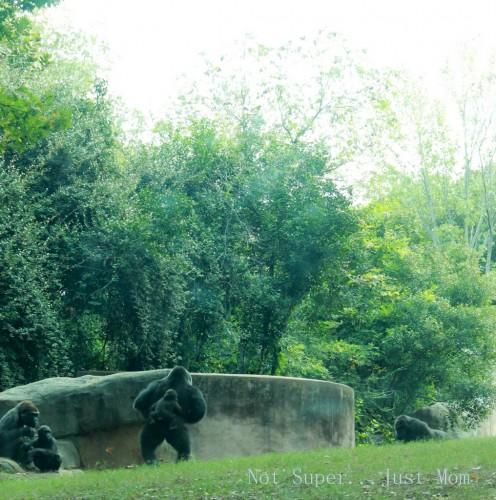 Gorillas Zoo Atlanta