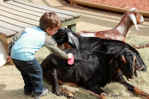 Brushing a goat at Zoo Atlanta